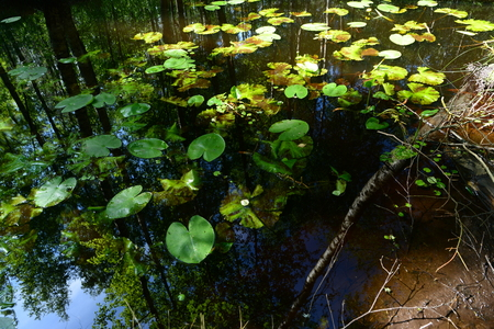 thickets: Reflection of the forest in the summer on the water in the thickets of water lilies