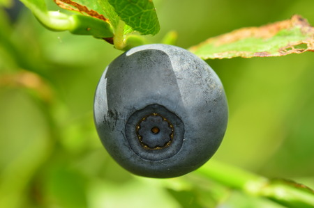 Summertime fruits of the forest blueberries