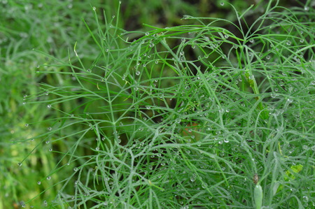 Summer crop of dill in drops of morning dew