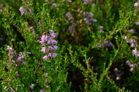 enebro: flores bosques de enebro en las gotas de rocío de la mañana del verano Foto de archivo