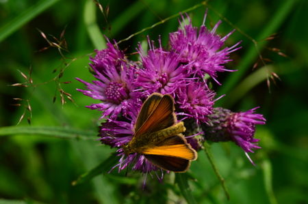 blossoming: Butterfly on the edge of a beautiful purple thistle flower