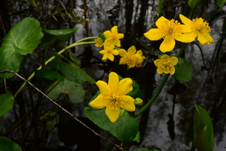 Wild flowers on a background of water yellow globe flowers Фото со стока