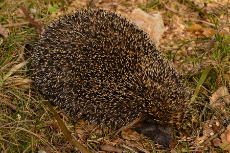 prick: Hedgehog on the edge of the forest basking in the spring sun Stock Photo