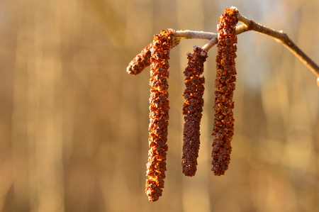 alder tree: Olive buds in the spring in the sunlight are covered with hoarfrost