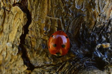 Ladybug on young pine trunk summer sunny morning
