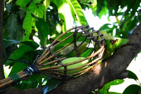 long handled: Wicker long handled fruit picker,thailand