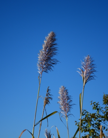 reeds of grass  on blue sky photo