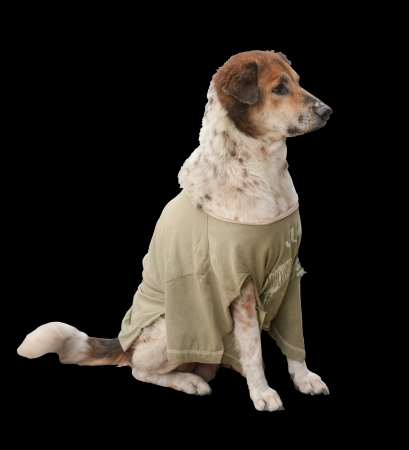 Thai dog wear the t-shirt   isolated on a black background  photo