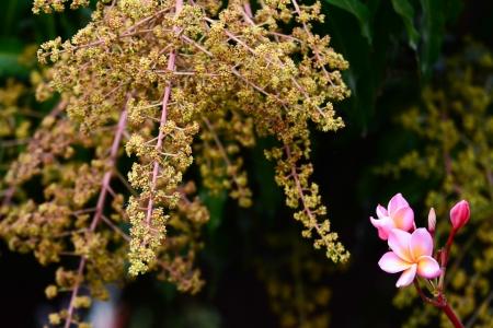 Mango flower with  pink flower photo