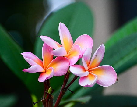 leelawadee: pink Leelawadee flower  Stock Photo