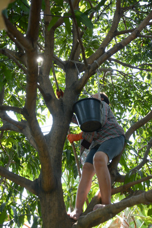 long handled: woman use long handled fruit picker to pick mangoes in orchard,Thailand Stock Photo