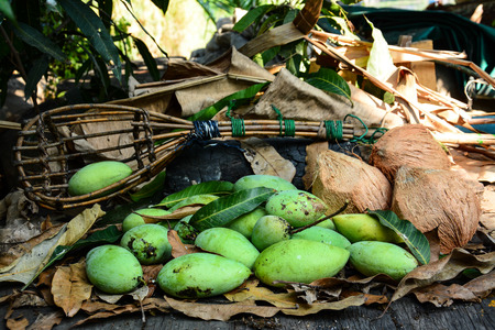 long handled: green mangoes with long-handled fruit-pickeron and coconuts dry leafs