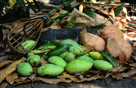 green mangoes with long-handled fruit-pickeron and coconuts dry leafs photo