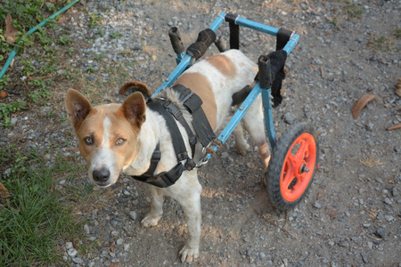 dog wheelchair: disable  dog in a wheelchair on ground Stock Photo