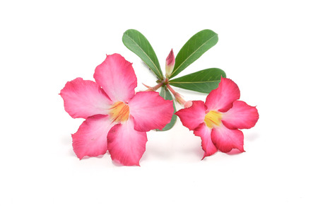 impala lily: Desert rose or Ping Bignonia isolate on white background