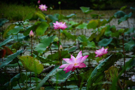 lotus pond in Krating Waterfall National Park iat Chantaburi, Thailand  photo