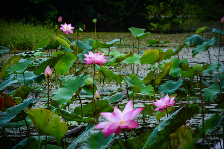 namtok: lotus pond in Krating Waterfall National Park iat Chantaburi, Thailand