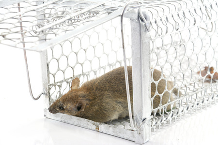 rat in the cage trap in white background  photo