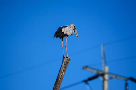 great blue heron: Great blue heron standing on bamboo with blue sky
