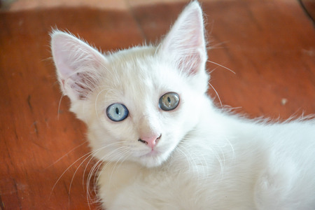 white cat with different color of eyes ,white thai kitte photo