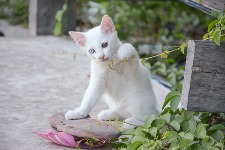 white cat with different color of eyes ,white thai kitten photo