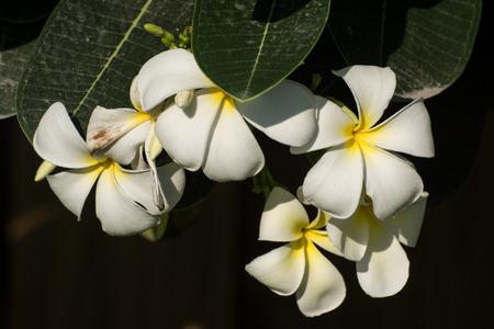 leelawadee: white leelawadee flower on nature background