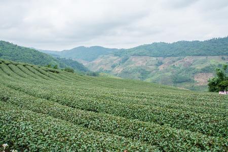 Green tea field, Chiangrai in Thailand photo