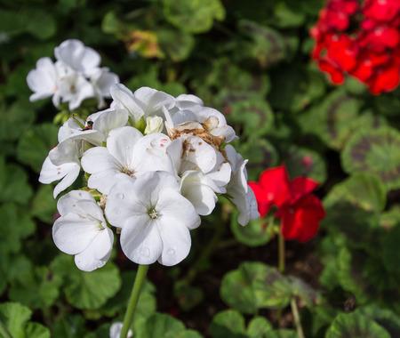 Beautiful geranium flowers background photo