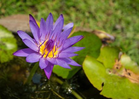 Beautiful violet lotus, close-up shot. photo