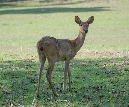 Sangai or Thamin deer photo