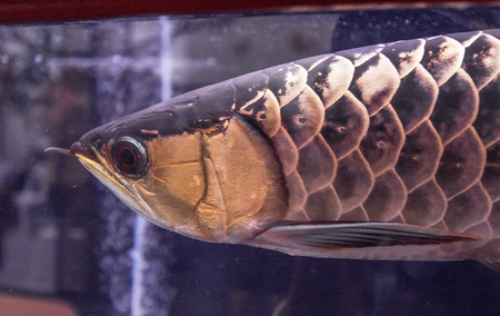 dragon fish: dragon fish