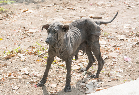 mangy: The mangy dogs and hairless