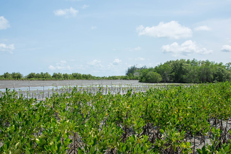 mire: mangrove trees showing root in the forrest, Thailand Stock Photo