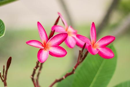 leelawadee: pink leelawadee flower on nature background Stock Photo