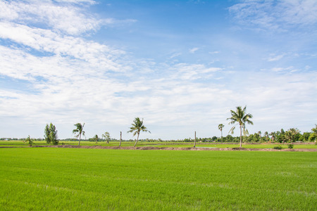 sugar palm: Rice field green grass  with  Sugar palm Stock Photo