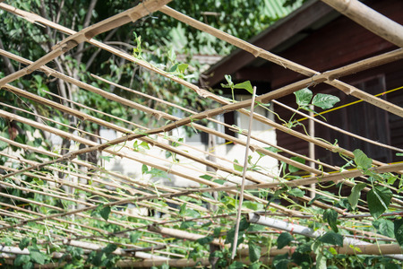 cow pea: Cow pea on bamboo net ,agriculture field in Thailand