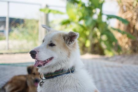 cute Thai dog Archivio Fotografico