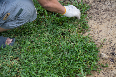 Planting grass sheet  on ground, Installing Natural Grass Turfs