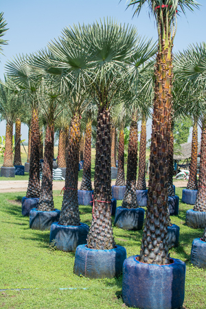 date palms in the garden