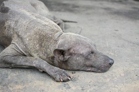 leprosy Thai dog sleep on concrete floor