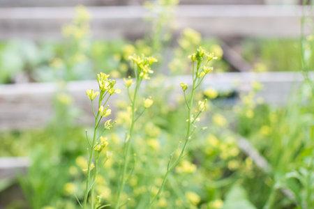 Chinese Mustard yellow flower in garden