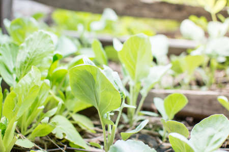 Chinese Mustard Green vegetable planting with soil
