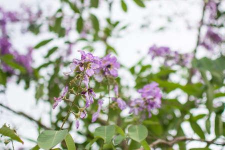 purple Inthanin flower in garden