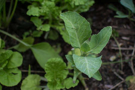 collard greens vegetable planting with soil