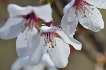 Prunus jamasakura