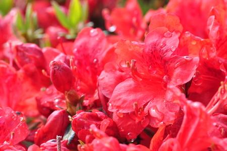 ericaceae: Hiryu Stock Photo