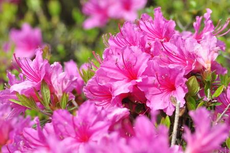 ericaceae: Cochounomy