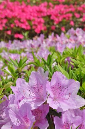 ericaceae: Flower