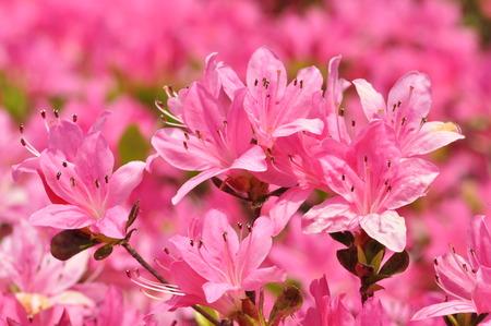 ericaceae: Ayah me