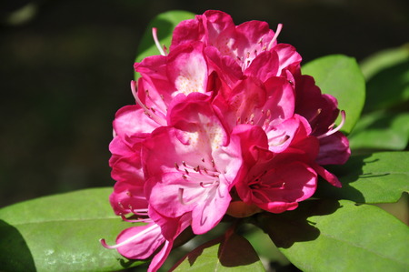 ericaceae: Rhododendron